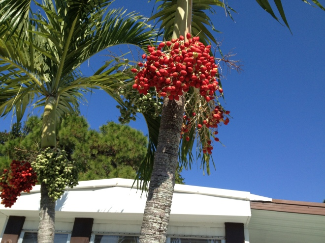 Christmas Palm.  Tropicana Park. Paul Goldfinger photo. November 2012.