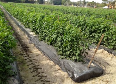 Tomato field with soil and nutrients in black plastic.